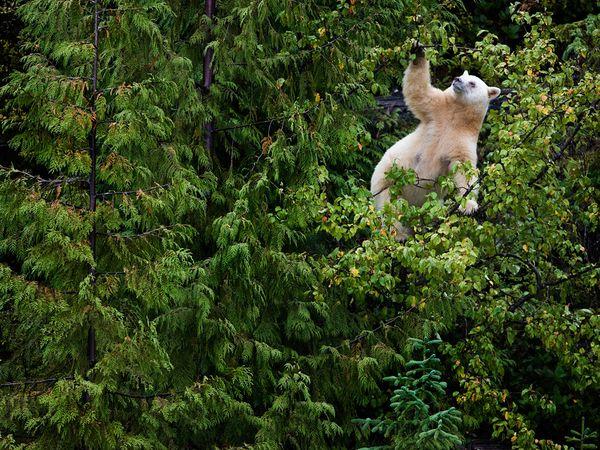 Kermode-bear-tree_37821_600x450