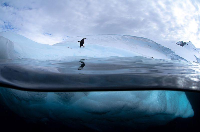 Hofman-antarctic-penguin