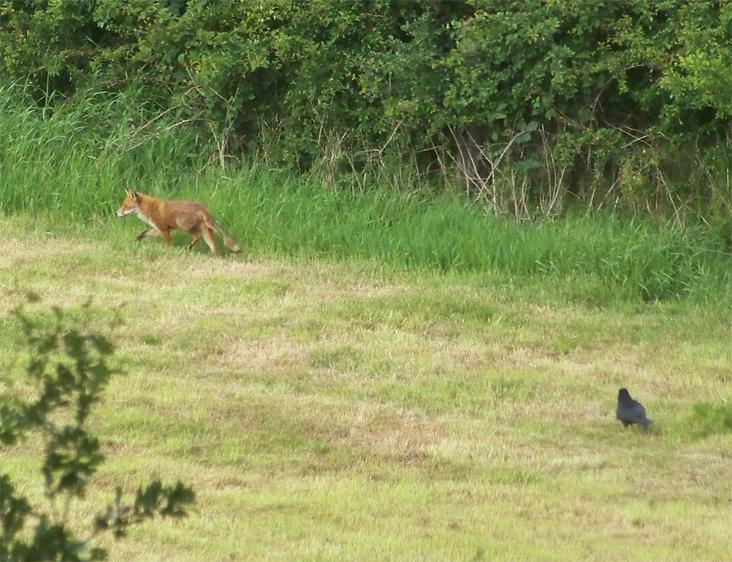 Crow_seeing off fox3