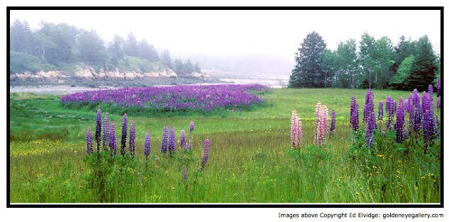A Field of Lupines in Pretty Marsh, Maine